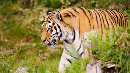 विश्व बाघ दिवस का महत्व