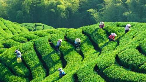 Covid impact on tea business