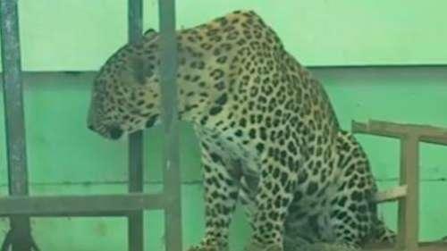 Maharashtra: leopard enters school premises, rescued after 4-hour-long operation