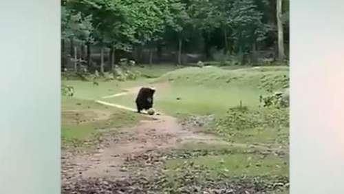Viral: फुटबॉल का मास्टर है यह जंगली भालू, वीडियो देख हो जाएंगे दंग