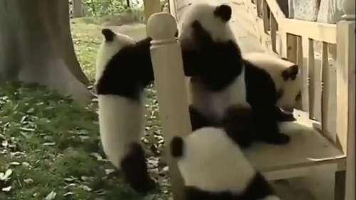 Viral Video: स्लाइड पर खेलते हुए इन 4 क्यूट पांडा का वीडियो देखा क्या...