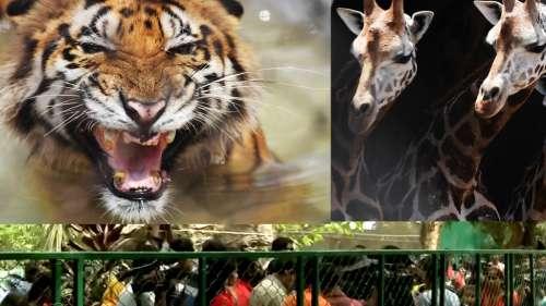 Alipore Zoo: তিনমাস পর খুলছে চিড়িয়াখানা, করোনাবিধি মেনে প্রবেশ করতে পারবেন সকলেই