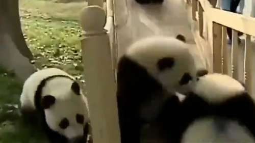 Watch: this cute video of pandas playing on a slide will make your day!
