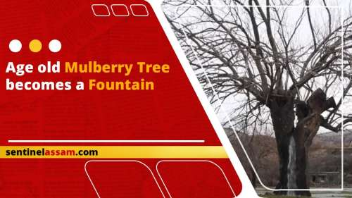Age old mulberry tree becomes a fountain