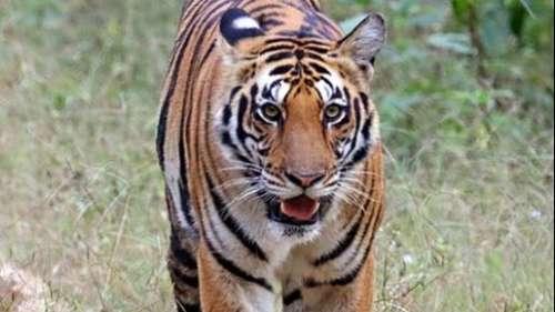 पलामू टाइगर रिजर्व में बढ़ी जानवरों की संख्या, बाघ होने के भी मिले संकेत