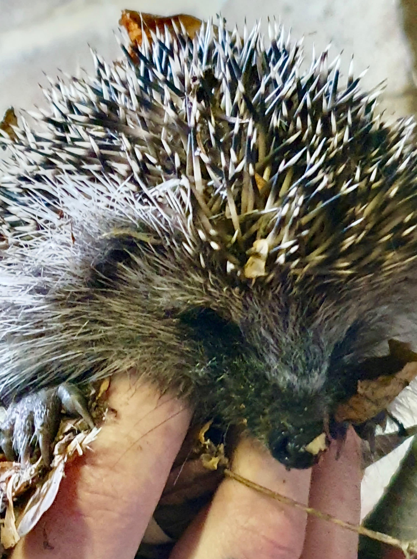 Garden Services Great Bookham Hedgehog Patrol