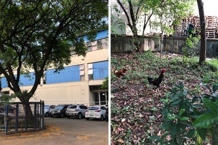 Fundo de prédio da prefeitura de São Paulo vira galinheiro