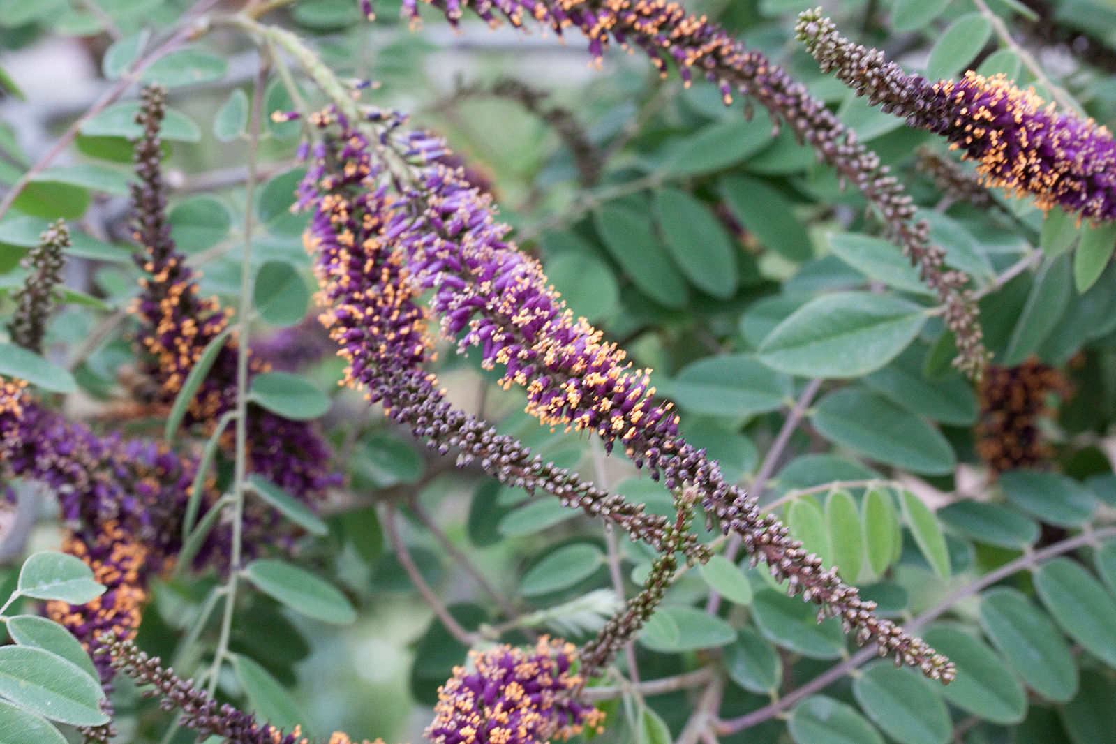 A photo of Amorpha canescens