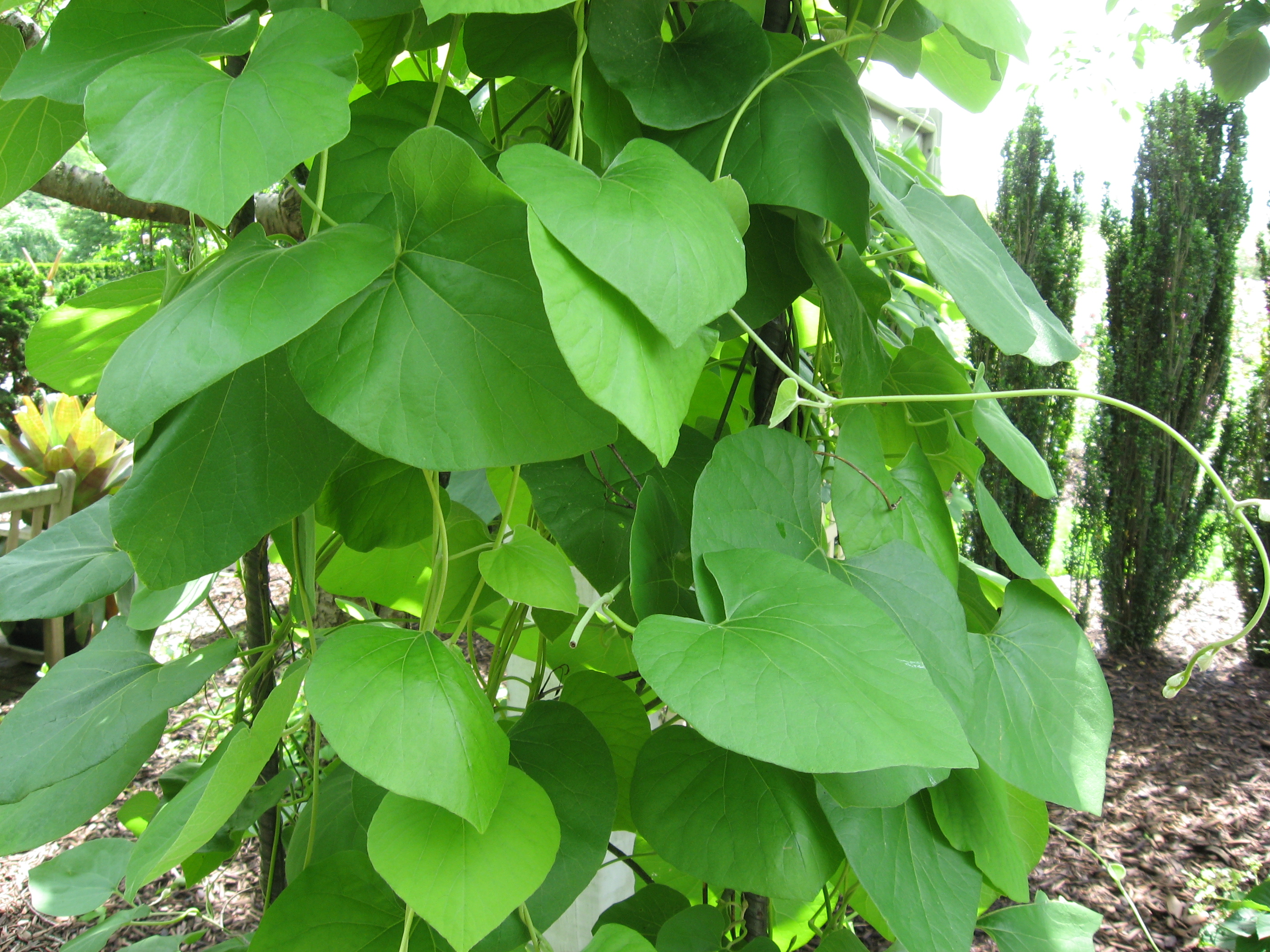 A photo of Aristolochia tomentosa