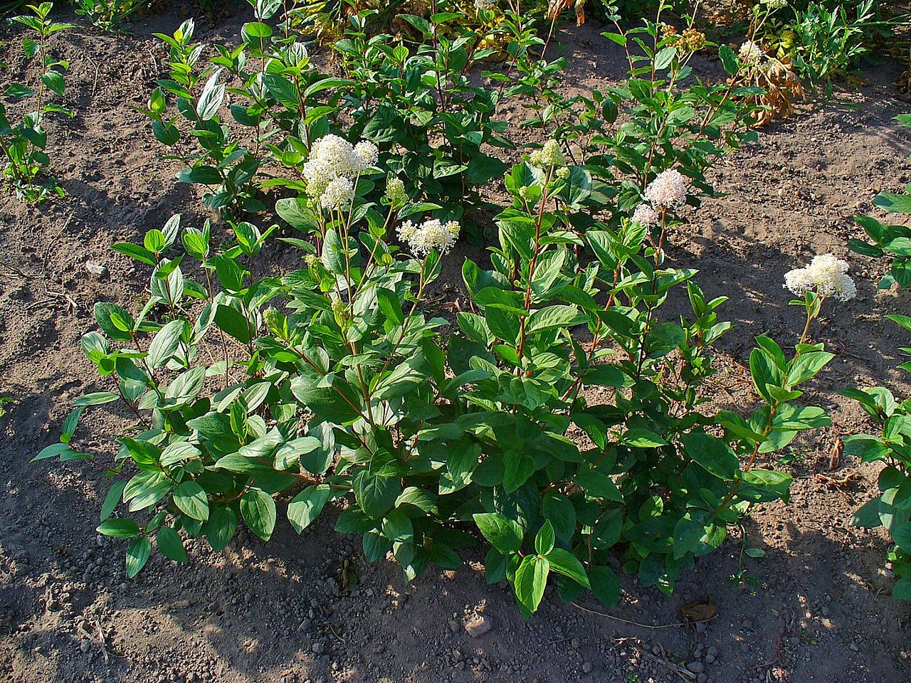 A photo of Ceanothus americanus