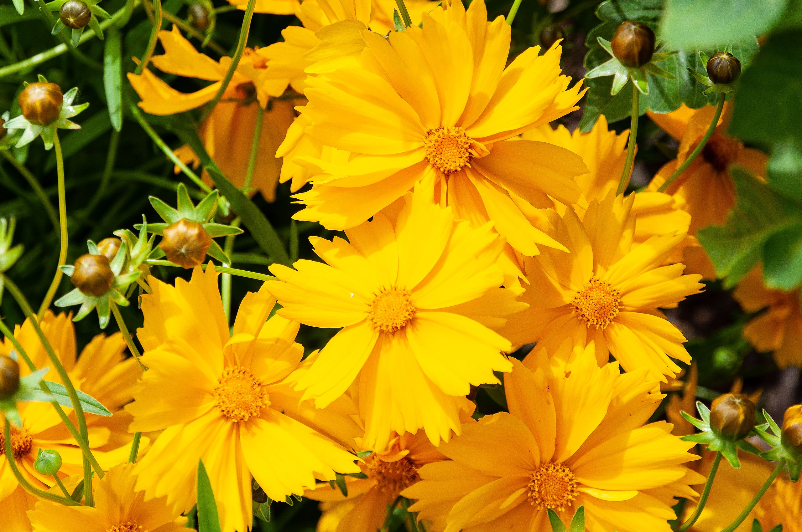 A photo of Coreopsis lanceolata