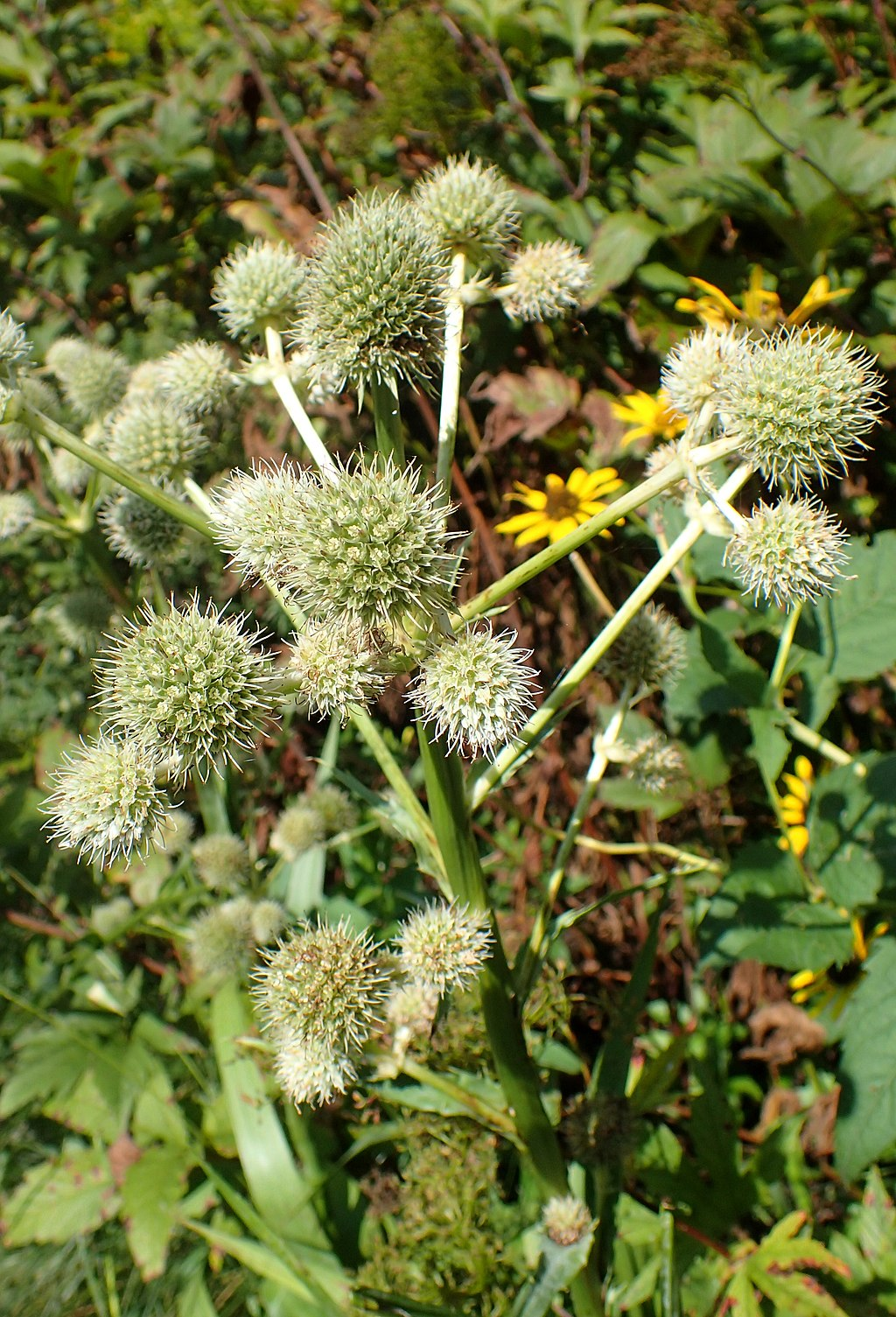 A photo of Eryngium yuccifolium