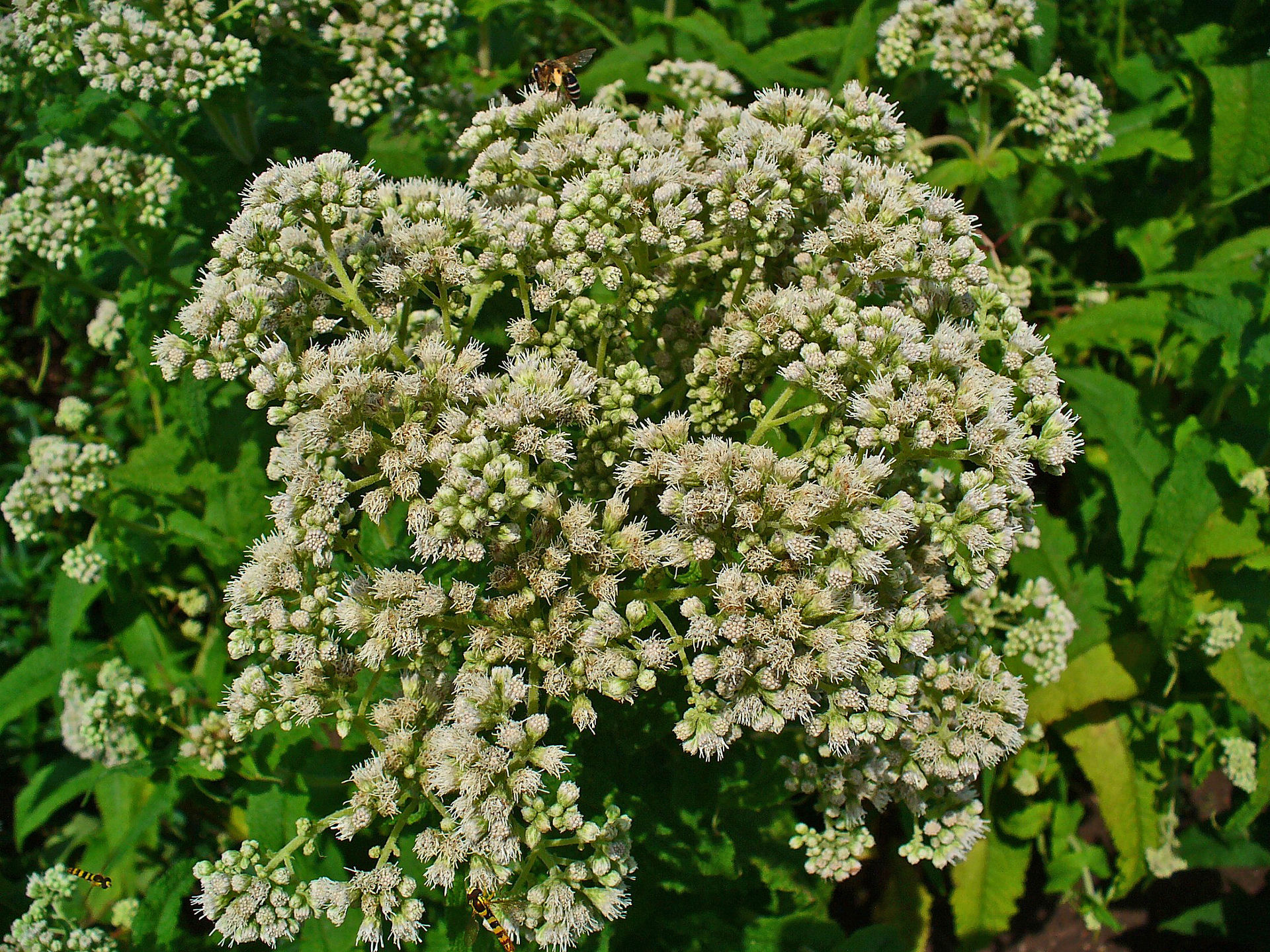 A photo of Eupatorium perfoliatum