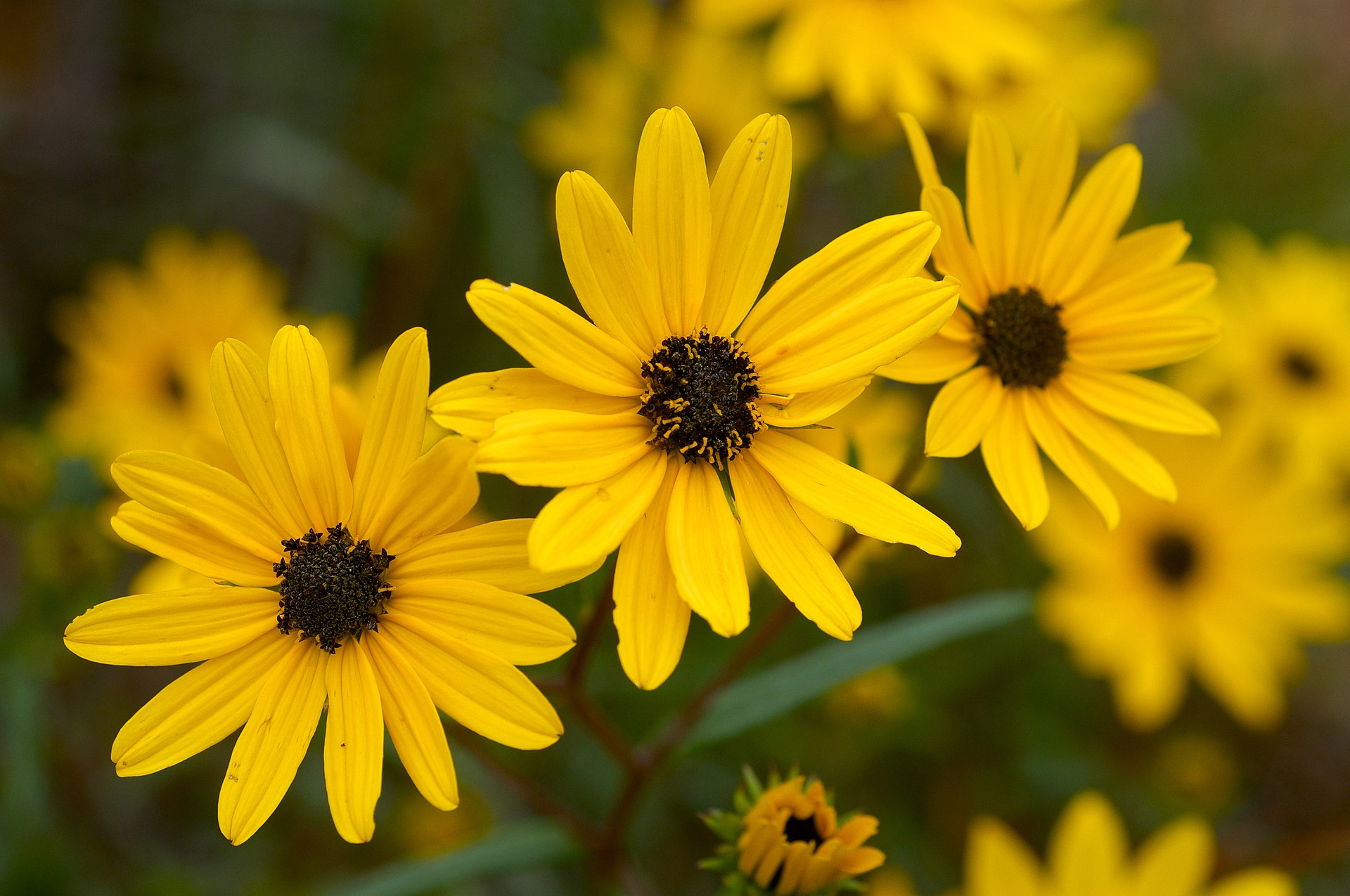 A photo of Helianthus angustifolius