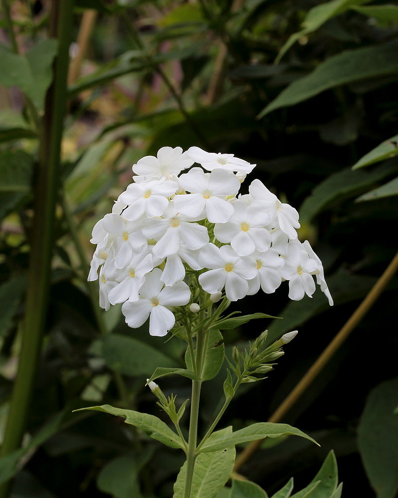 A photo of Phlox paniculata