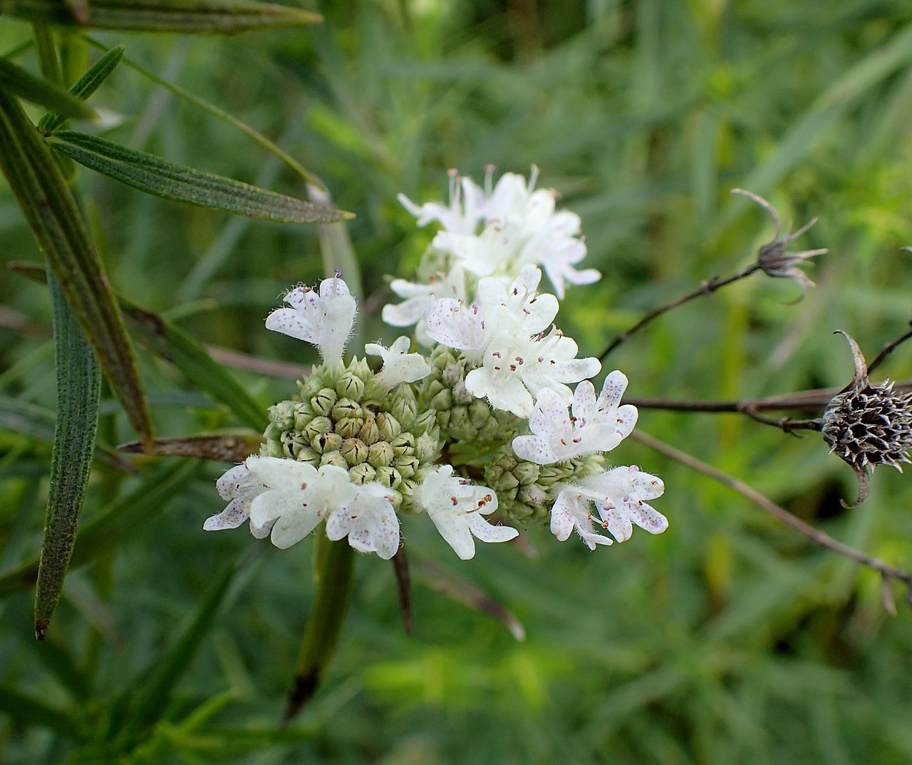 A photo of Pycnanthemum tenuifolium