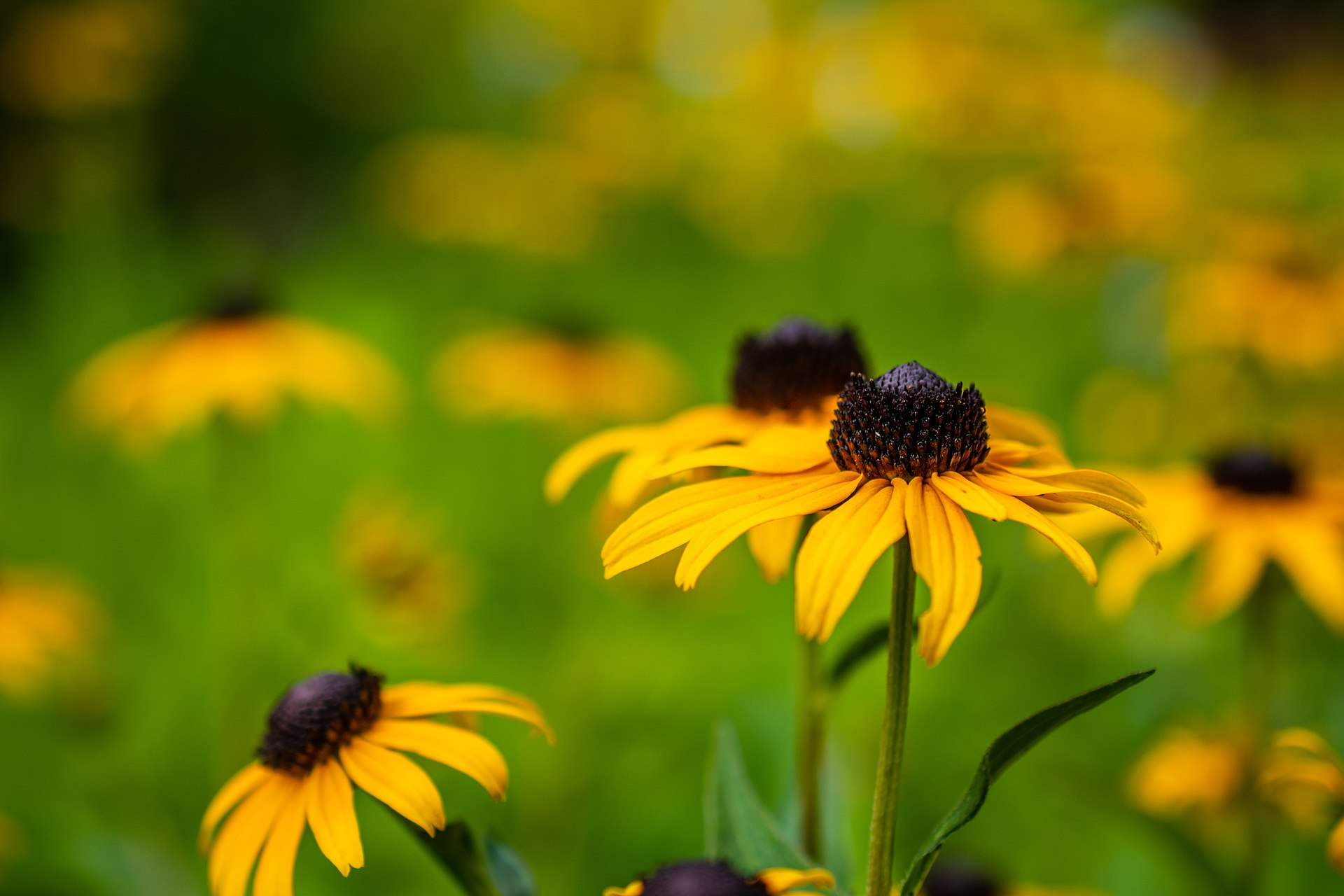 A photo of Rudbeckia hirta