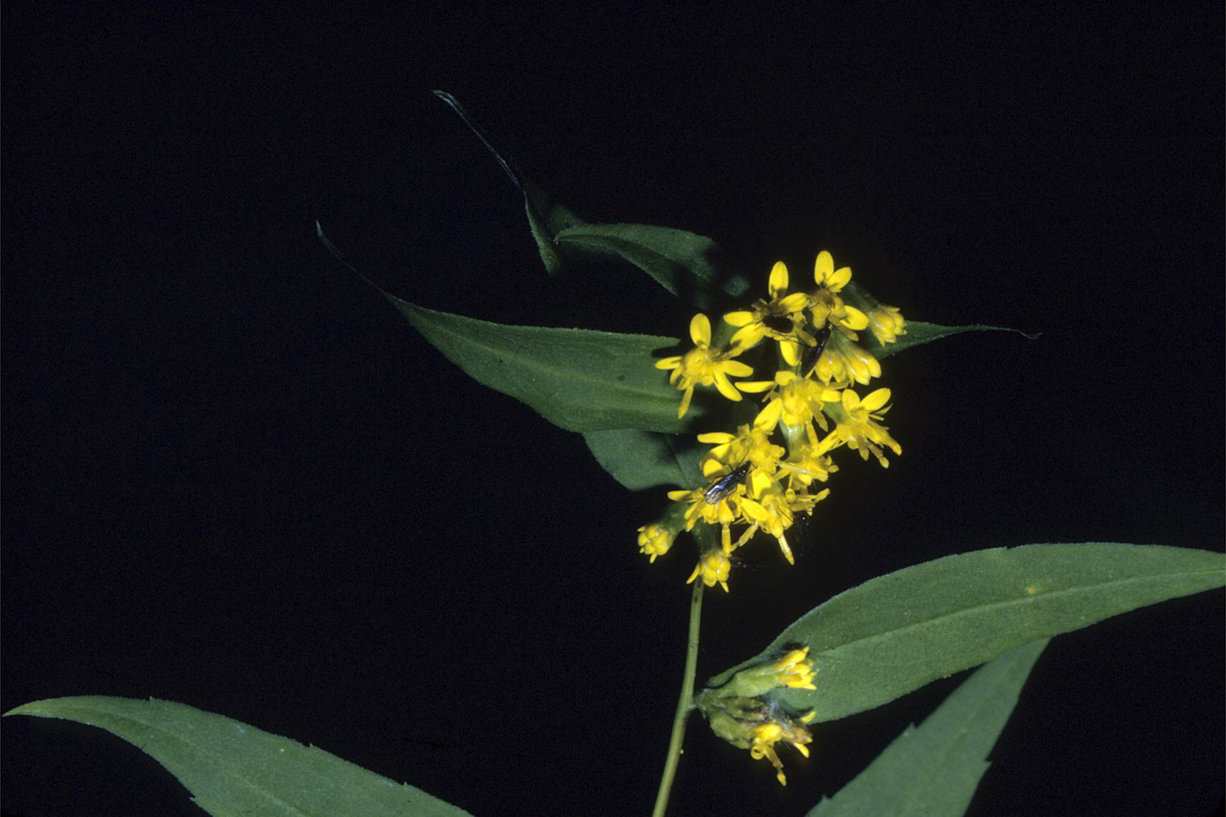 A photo of Solidago caesia