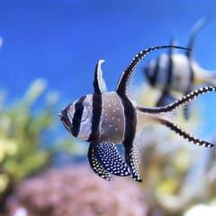 Bengai Kardinal Balığı