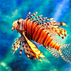 Kırmızı Aslan Balığı