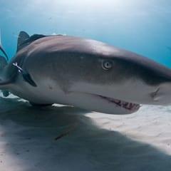 Limon Köpekbalığı