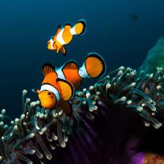 Paylaço Balığı