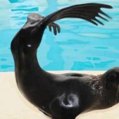 İstanbul Dolphinarium Fok