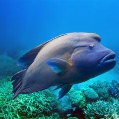 Napolyon Balığı