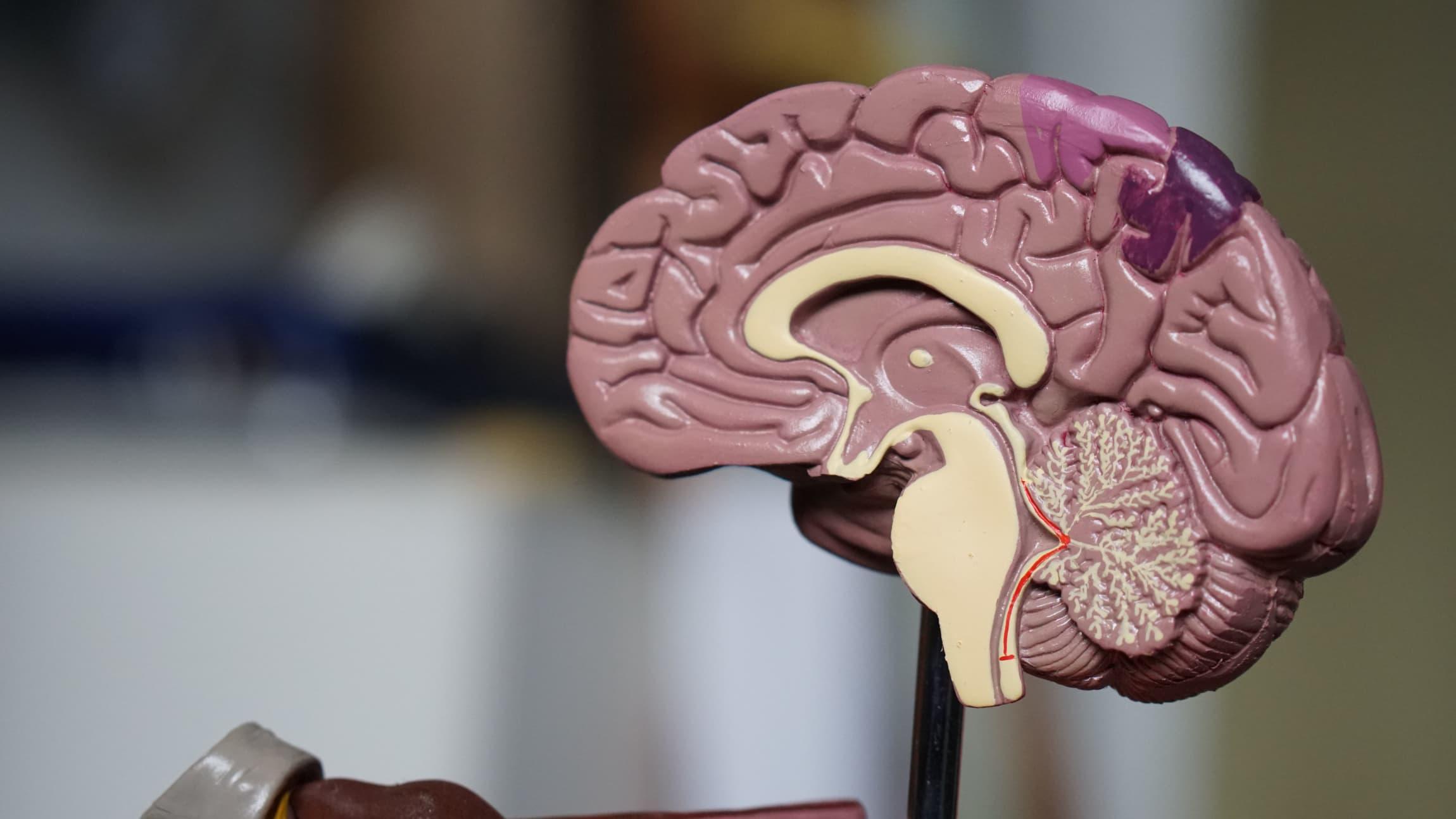 Medical model of the human brain.