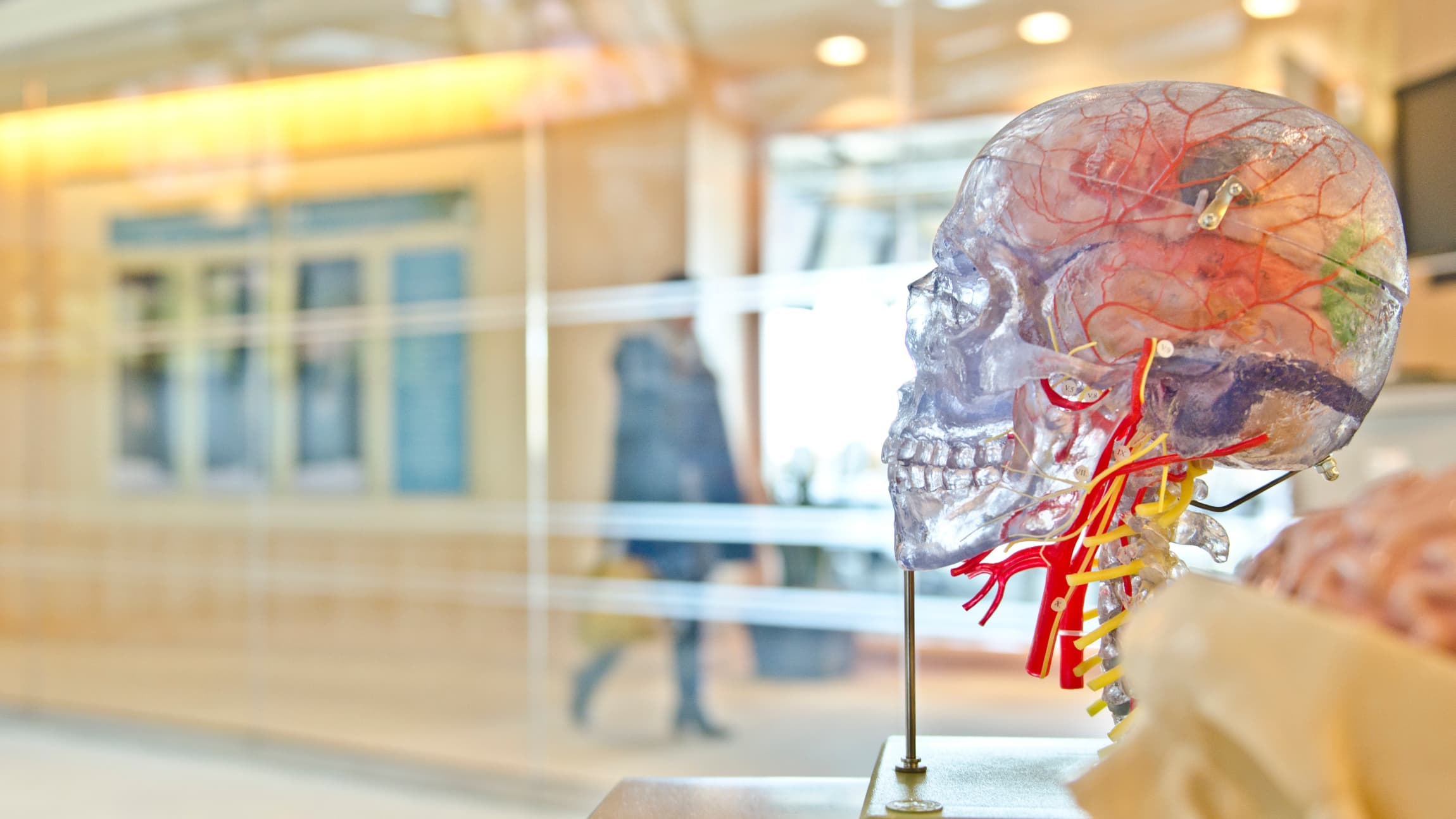 Clear model of a human skull with visible blood vessels.