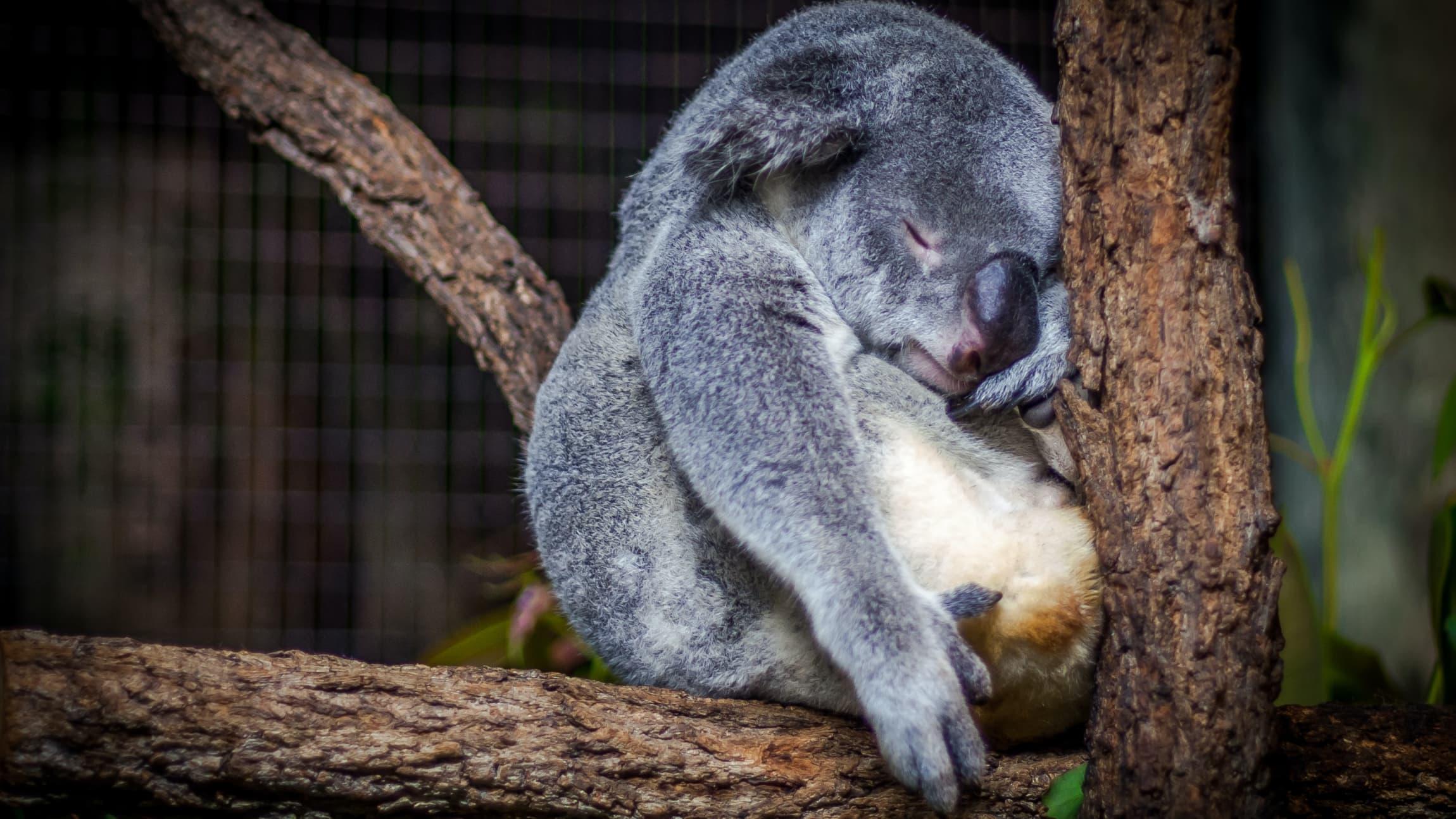 Koala sleeping on tree branch.
