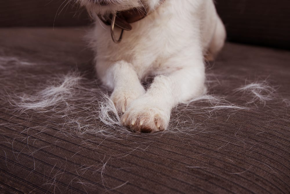 Shedding is common in household dogs