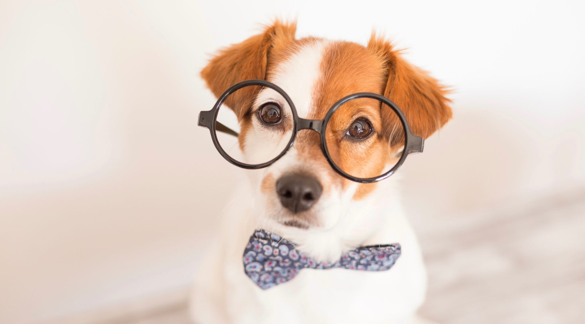 embark dog with glasses bowtie