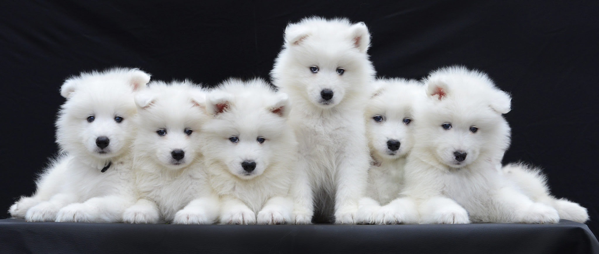 embark white puppies