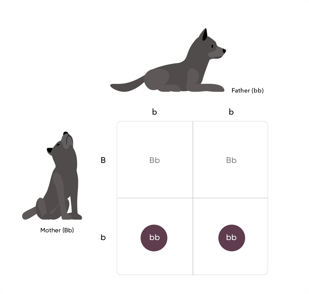 Punnett square with two black dogs lowercase b lowercase b on top and uppercase B lowercase b to the left. From top left to bottom right: uppercase B lowercase, uppercase B lowercase b, lowercase b lowercase b, lowercase b lowercase b.