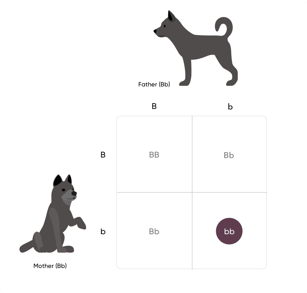 Punnett square with two black dogs uppercase B lowercase b on top and uppercase B lowercase b to the left. From top left to bottom right: uppercase B uppercase B, uppercase B lowercase b, uppercase B lowercase b, lowercase b lowercase b