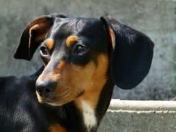 embark dachshund guide 2