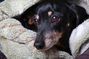 dachshund under blanket