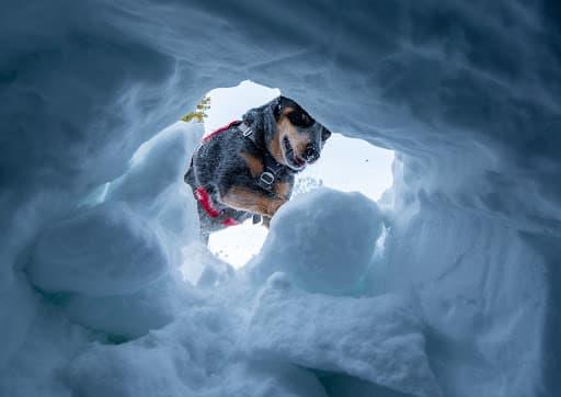 Avalanche Rescue Dog