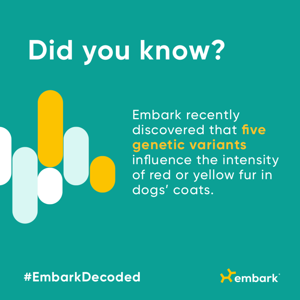 Did you know? Embark recently discovered that five genetic variants influence the intensity of red or yellow fur in dogs' coats