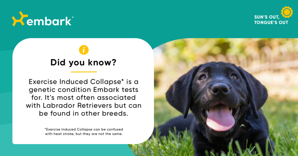 Black lab next to exercise induced collapse did you know