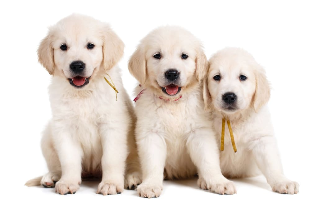 Embark for Breeders Dog DNA Test with three white purebred puppies