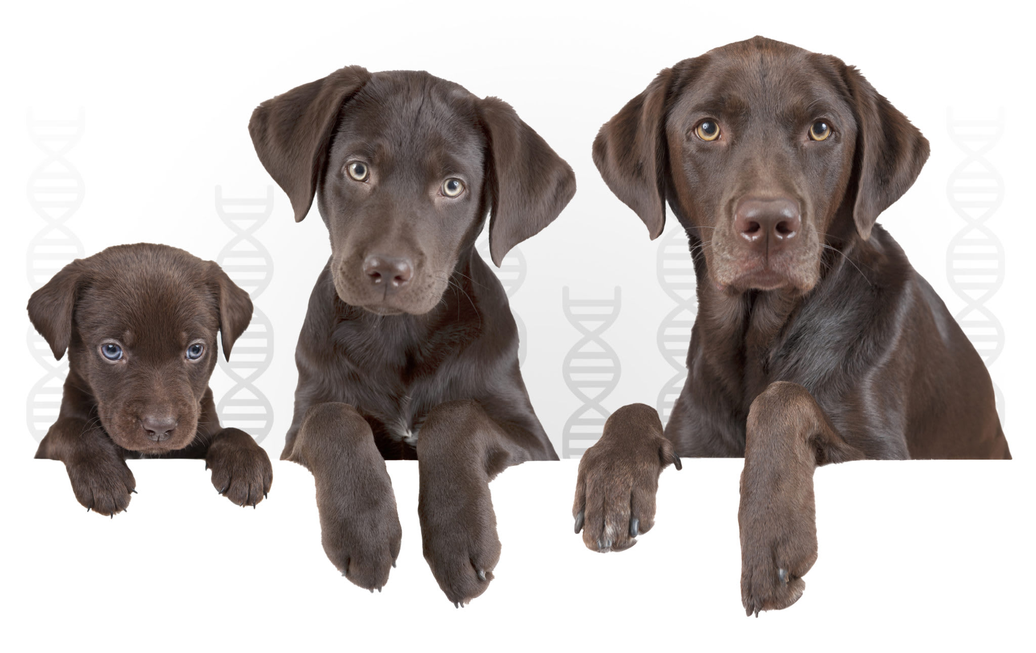 Labrador puppy, young Labrador, and adult Labrador life stages