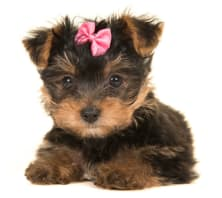 embark yorkie puppy pink bow