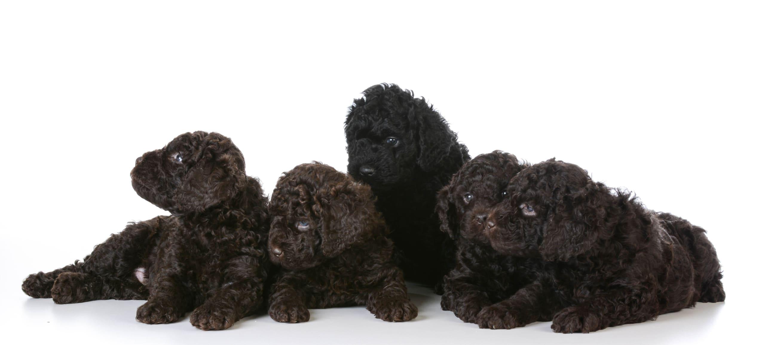 five barbet puppies