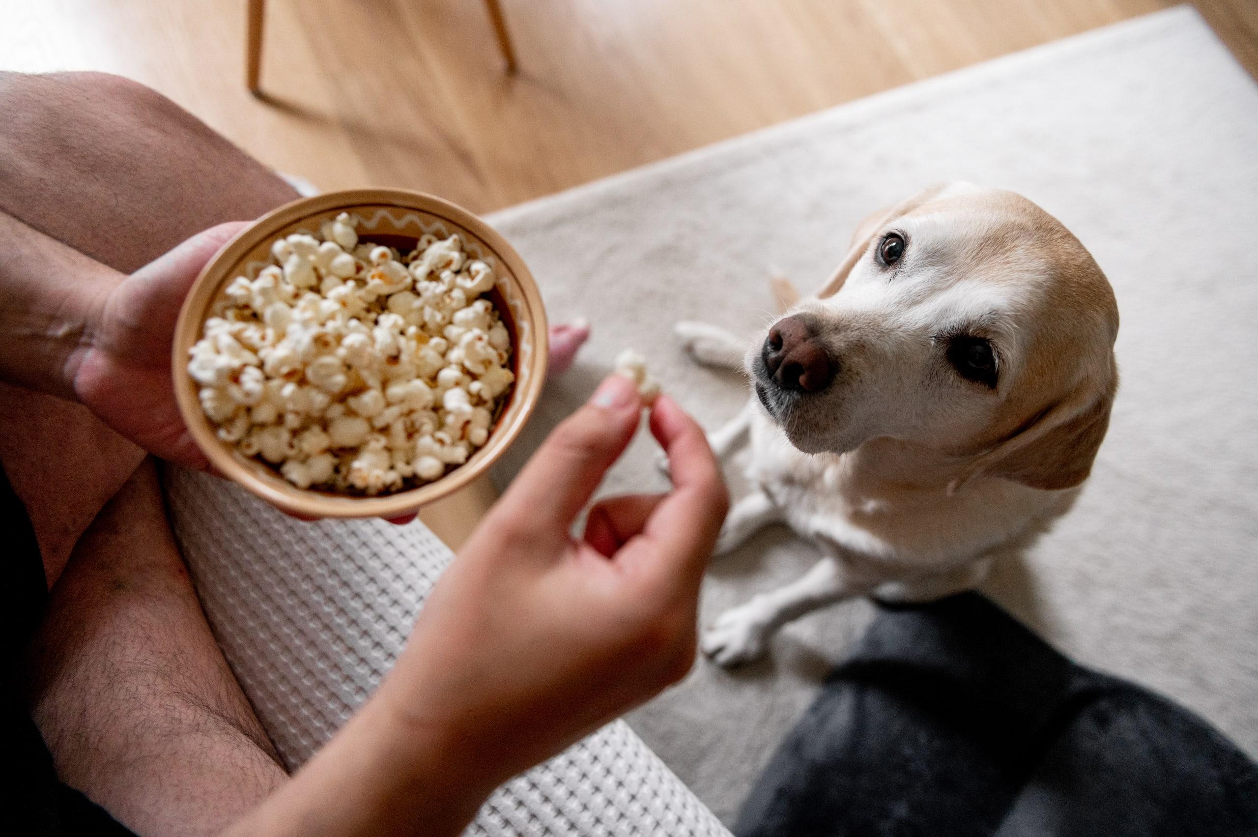 Dog begging for popcorn