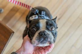 embark boston terrier leashed