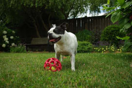 embark boston terrier red toy