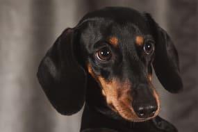 embark dachshund guide 4