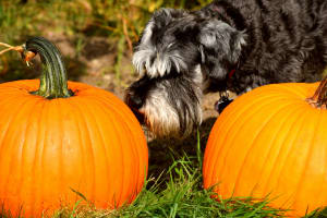Photo by Phil DuFrene on Unsplash of a dog sniffing two pumpkins
